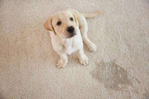 ניקוי שטיח מכתמי שתן